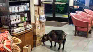 So A Goat Walked Into A Starbucks ...