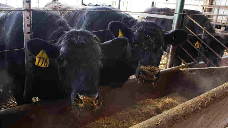 Taking Cues From Human Nutrition To Reduce Antibiotic Use In Livestock