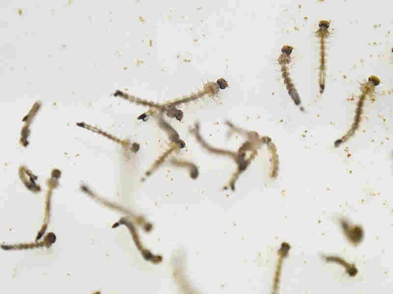 Aedes Aegypti mosquito larvae are photographed in a lab in Cali, Colombia in January.