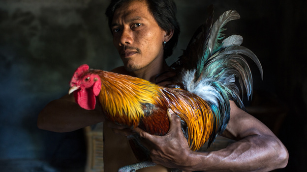 A young man from Bali, Indonesia, shows off his rainbow-colored rooster before a cockfight. (Courtesy of Ruben Salgado Escudero and the World Photography Organization)