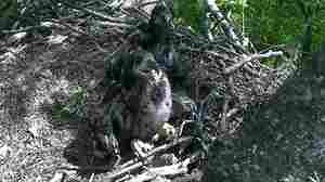 Which one's which? Two eaglets were born in Washington, D.C., last month; they've now been named Freedom and Liberty.