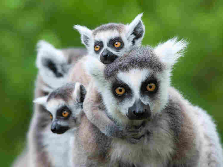 A ring-tailed lemur with her babies.