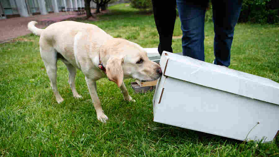 """Cybil Preston, chief apiary inspector for the Maryland Department of Agriculture, does a training run with Mack: She sets up fake beehives and commands him to """"find."""" He sniffs each of them to check for American foulbrood. He has been trained to sit to notify Preston if he detects the disease."""