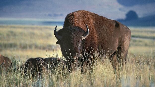 A North American bison in Glacier National Park, Montana. (De Agostini/Getty Images)