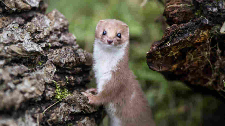Weasels are adorable.