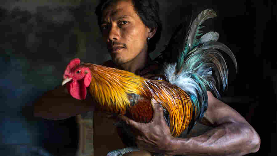 A young man from Bali, Indonesia, shows off his rainbow-colored rooster before a cockfight.