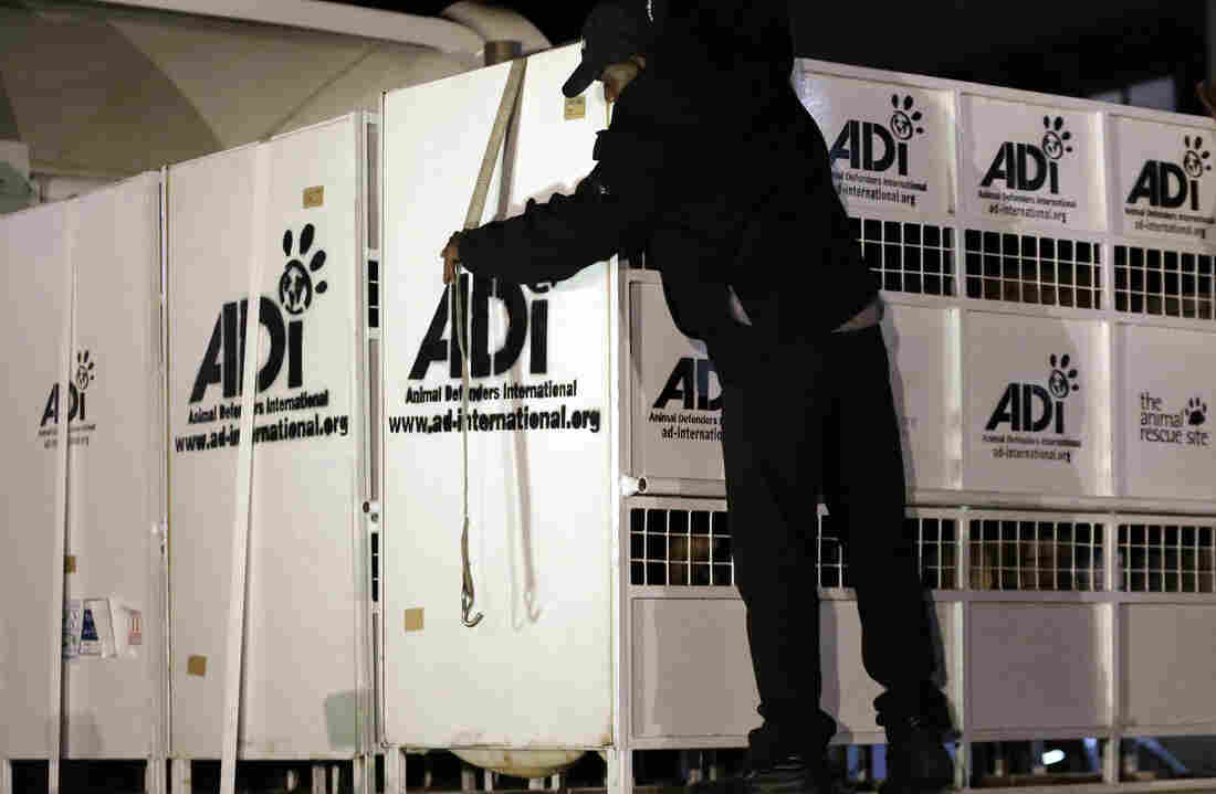 A worker straps down cages that hold former circus lions on their arrival at OR Tambo International airport in Johannesburg.