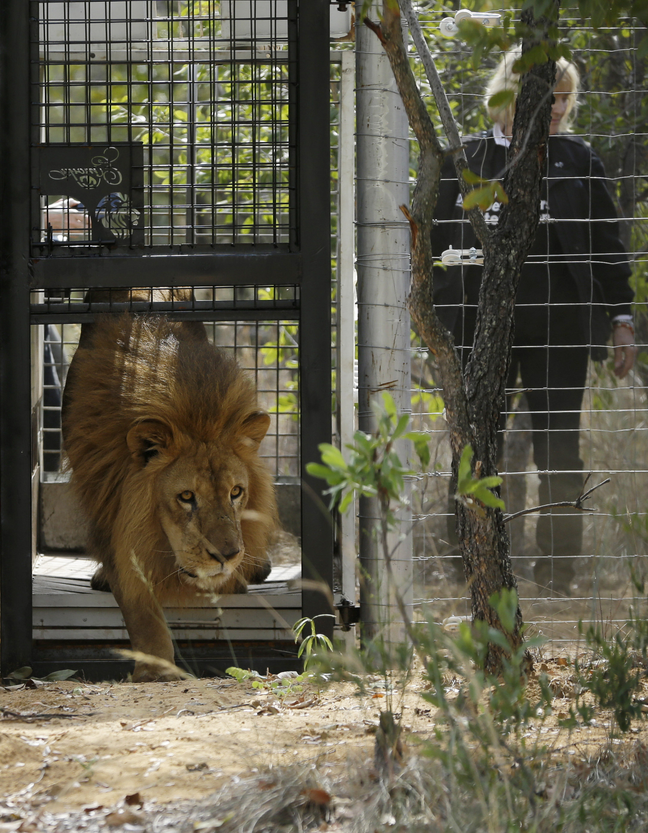 PHOTOS: 33 Rescued Circus Lions Airlifted From Peru To South Africa