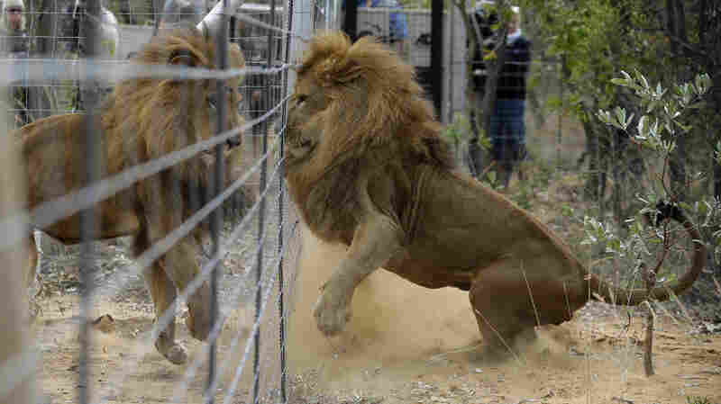 Former circus lions plays after being released into an enclosure at Emoya Big Cat Sanctuary.