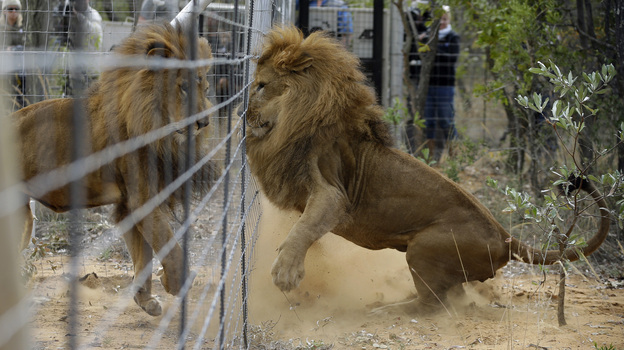 Former circus lions plays after being released into an enclosure at Emoya Big Cat Sanctuary. (AP)