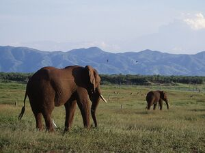 African bush elephants on Fothergill Island, Zimbabwe.