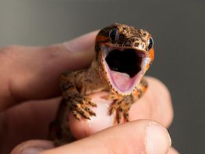A red striped new Caledonian bumpy gecko, Rhacodactylus auriculatus.