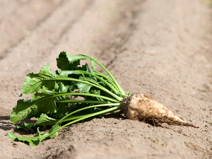 A sugar beet. This crop supplies about half of America's sugar.