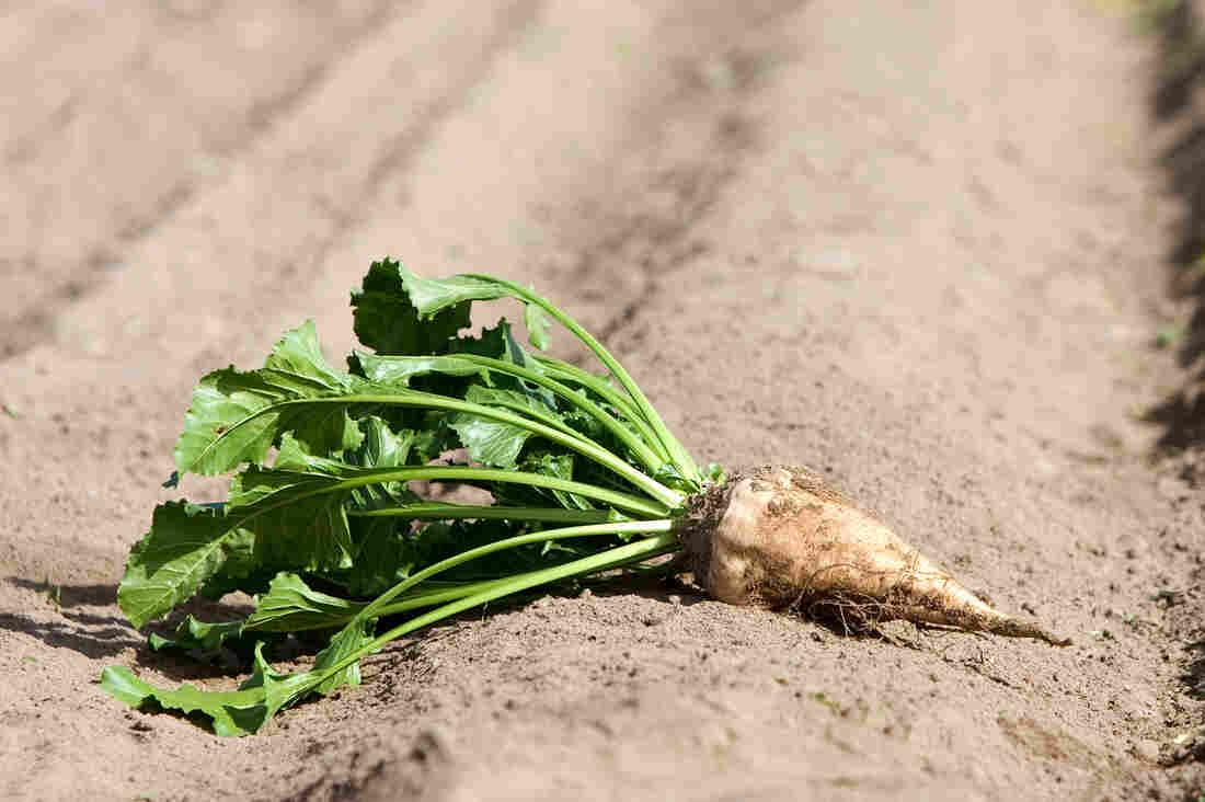 A sugar beet. This crop supplies about half of America's sugar.