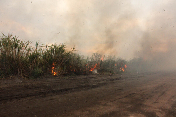 Before sugar cane is harvested, farmers set fire to it to burn away the leaves.