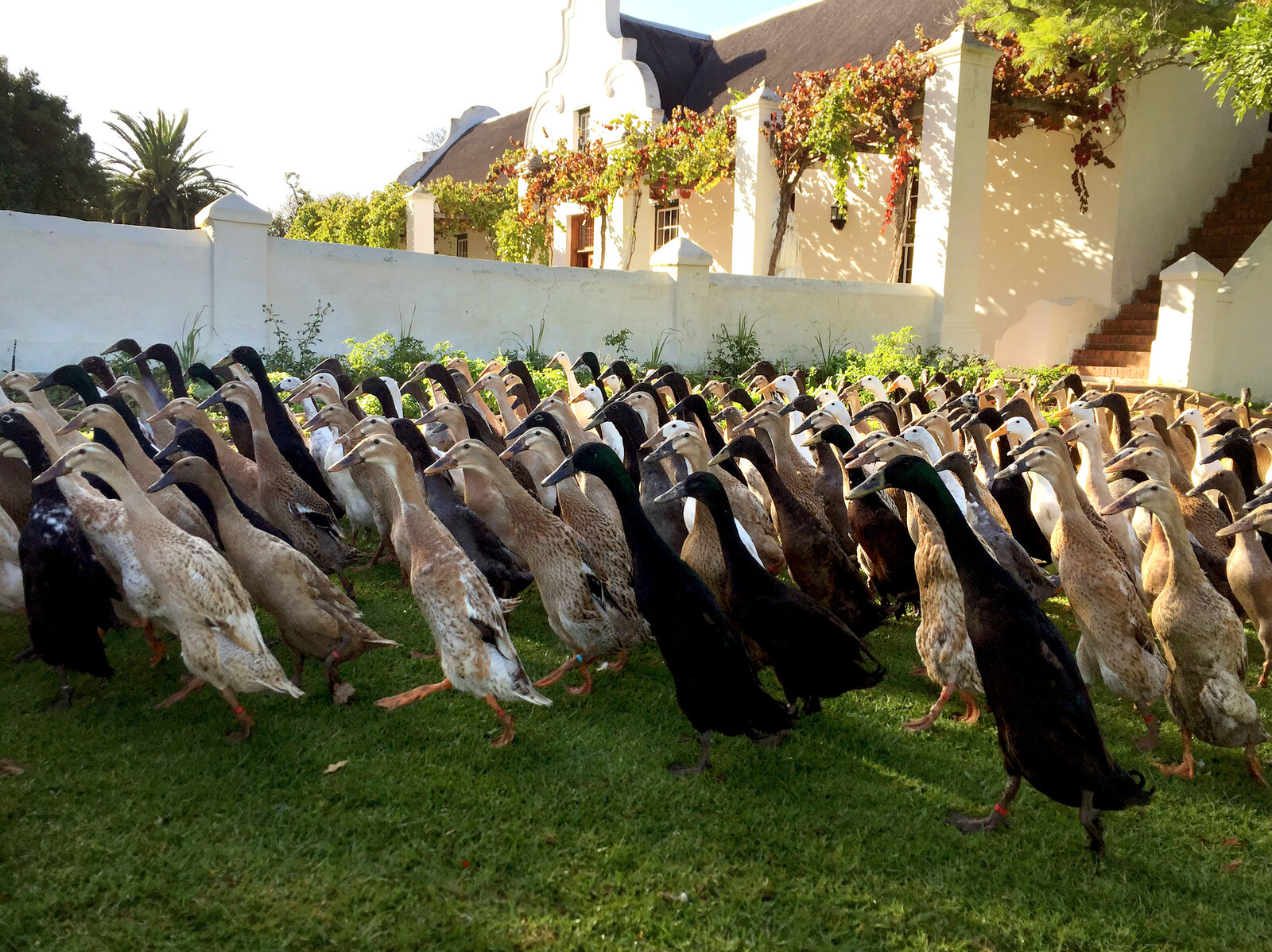 Indian runner ducks have been used in Asia for thousands of years to control pests. Now they're used in a South African vineyard to eat snails that damage the vines.