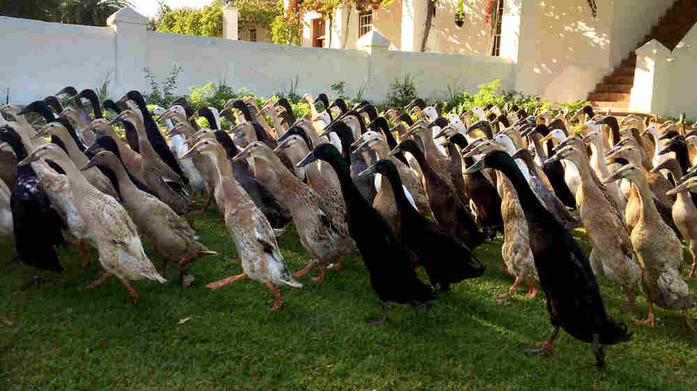 For This Vineyard, It's Duck, Duck, Booze