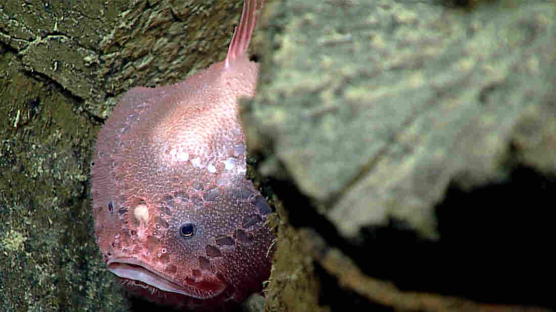 A deep-sea anglerfish live within the pillow basalts in the Mariana Trench area. You can see its round lure between its two eyes. This fish is an ambush predator that waits for prey to be attracted by the lure before rapidly capturing them in one gulp with their large mouths.