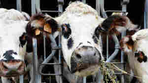 Can Oregano Fight Cow Belches — And Climate Change?