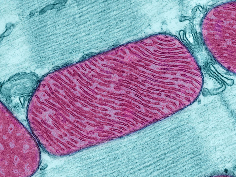 Look, Ma! No Mitochondria
