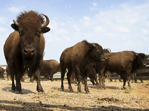 Bison graze in a state park in South Dakota.