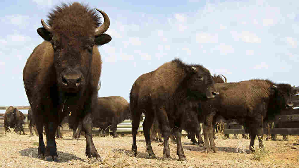 The Bison's Back, But What For?