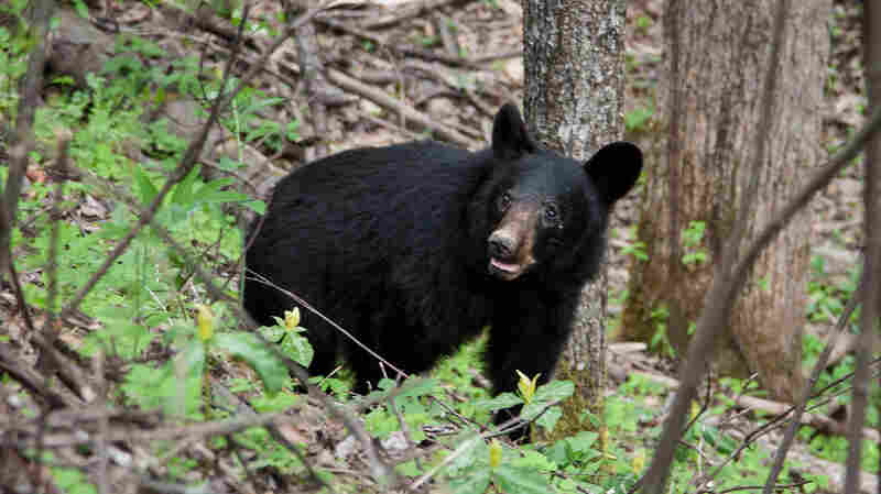 Keeping Bears Wild — Or Trying — At National Parks