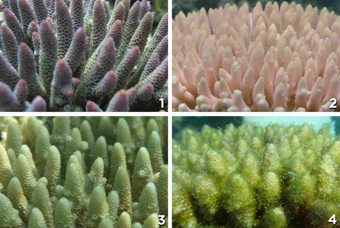 Photo (1) shows healthy coral. It's then seen bleached (2). Photo (3) shows dead coral with a film of algae, which grows thicker in photo (4).