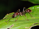 "Schmidt calls the bullet ant the ""holy grail of stinging insects."" He ranks its sting as a 4 out of 4: ""Pure, intense, brilliant pain. Like walking over flaming charcoal with a 3-inch nail embedded in your heel."""