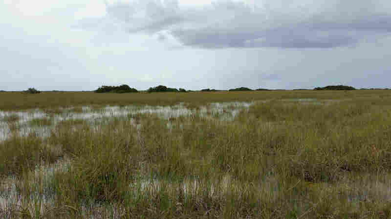 A view from the Shark Valley Visitors Center in Everglades National Park. Much of the fresh water that used to replenish South Florida's saw grass prairie has been diverted to agriculture, researchers say.