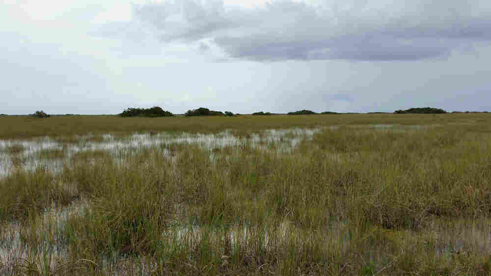 Rising Seas Push Too Much Salt Into The Florida Everglades