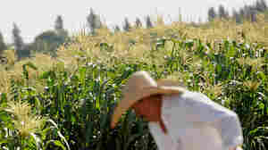 Worker Javier Alcantar tends to crops at the Monsanto Co. test field in Woodland, Calif., in 2012.