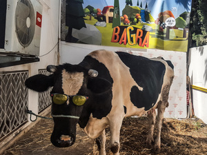 Pamela, the cow prize, hangs out in the backyard of DigitalMania Studio's office in Tunis, Tunisia.