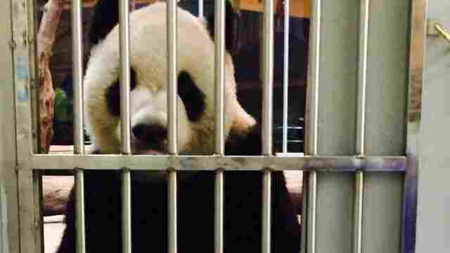 A proof-of-life photo of the panda Tuan Tuan was released by the Taipei Zoo on Facebook this week.