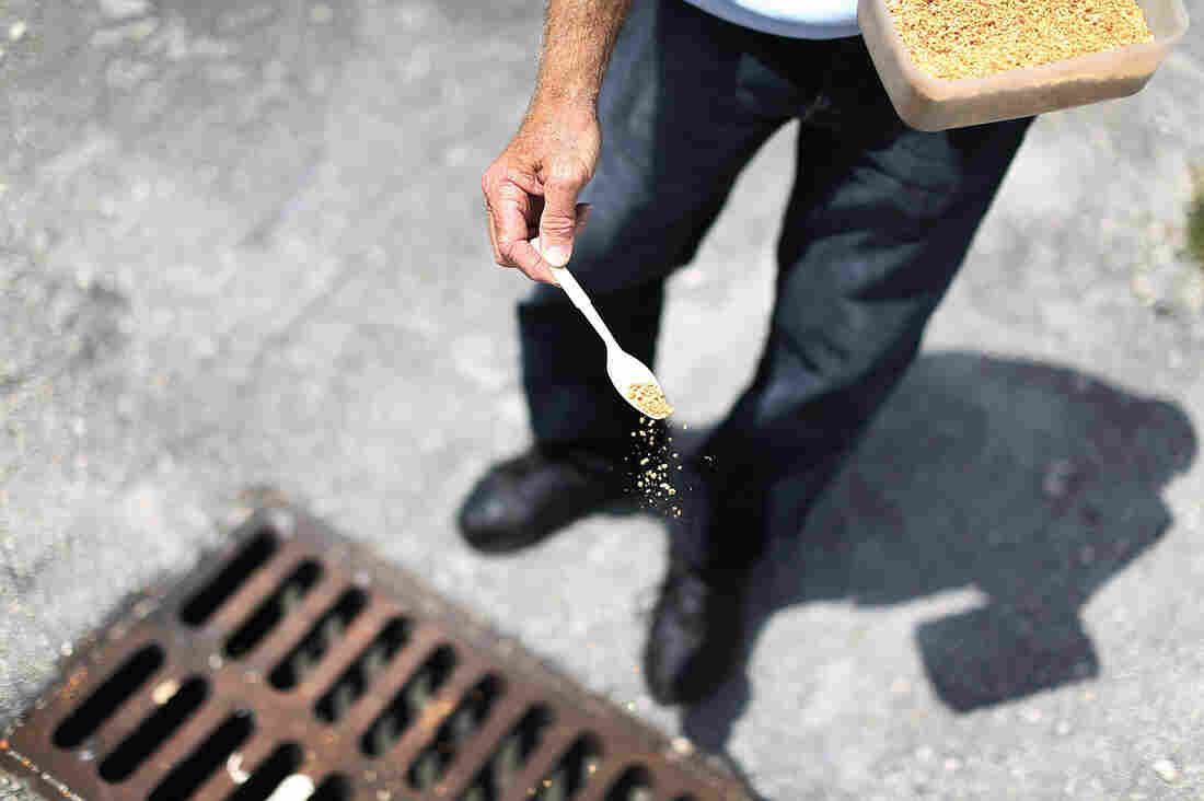 A mosquito control inspector sprinkles larvicide in a storm drain in Miami Gardens, Fla., in an effort to stop the spread of Zika virus.