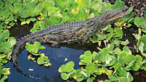 Nile Crocodiles Found Near Miami, Researchers Confirm