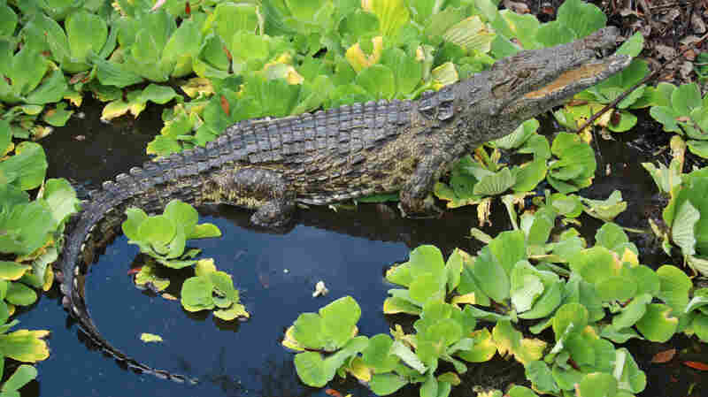 University of Florida researchers recently published a paper showing that captured reptiles in 2009, 2011 and 2014 are Nile crocs.