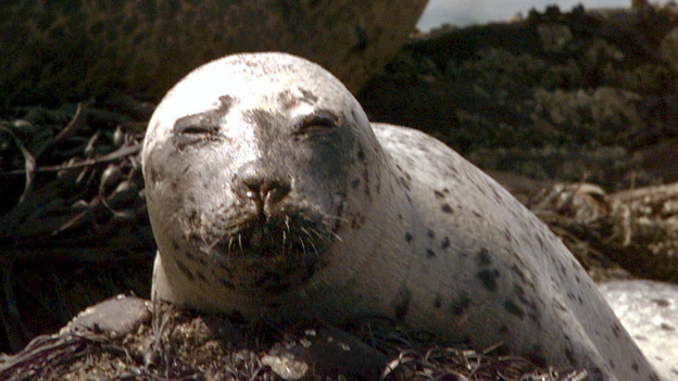 A young harbor seal lounges on top of seaweed near Cundy's Harbor, Maine, in 2000. As pupping season and Memorial Day weekend collide, New Englanders are being asked to stay away from seals. (AP)
