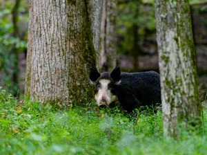 Feral hogs in Great Smoky Mountain National Park are an invasive and hugely destructive species.