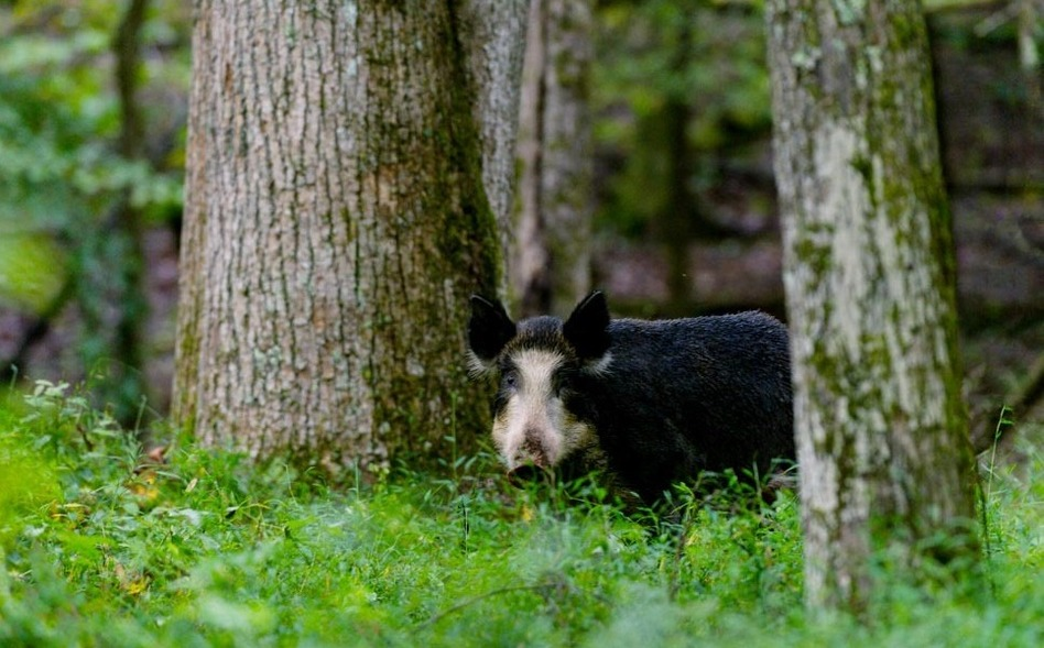 Feral hogs in Great Smoky Mountains National Park are an invasive and hugely destructive species. (Courtesy of Bill Lea)