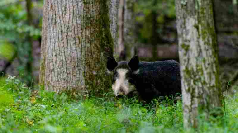 On The Trail Of The Wily Wild Hog