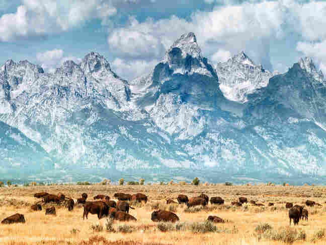 Bison on the prairie below the Grand Teton Mountain Range. Bison migrate in and out of Yellowstone National Park.