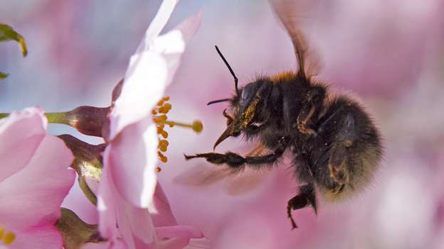 Scientists say bumblebees can sense flowers' electric fields through the bees' fuzzy hairs. (AP)
