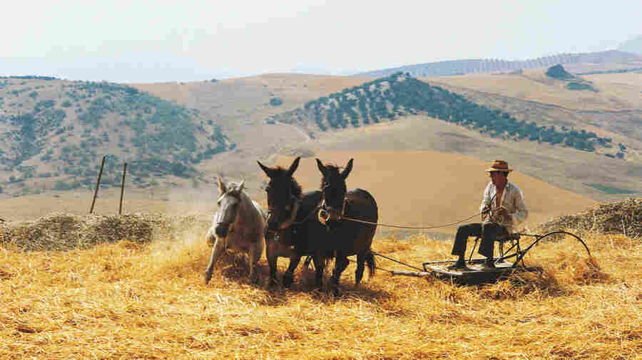 A horse and mules thresh wheat in Spain. The World Organisation for Animal Health has adopted the first set of global standards to ensure equine welfare.
