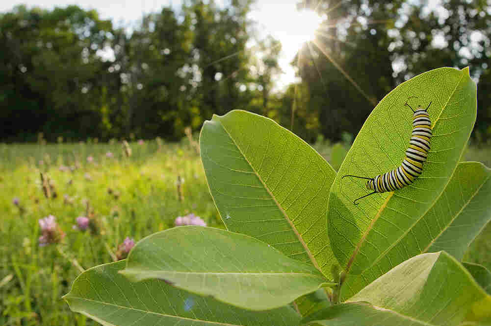Monarch caterpillars feed exclusively on milkweed.