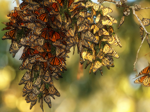 Monarchs spend their winters in the central mountains of Mexico before traveling up through the United States to Canada.