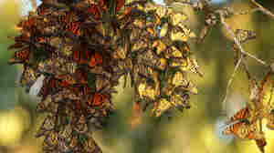 Can Planting More Milkweed Save Monarch Butterflies? It's Complicated