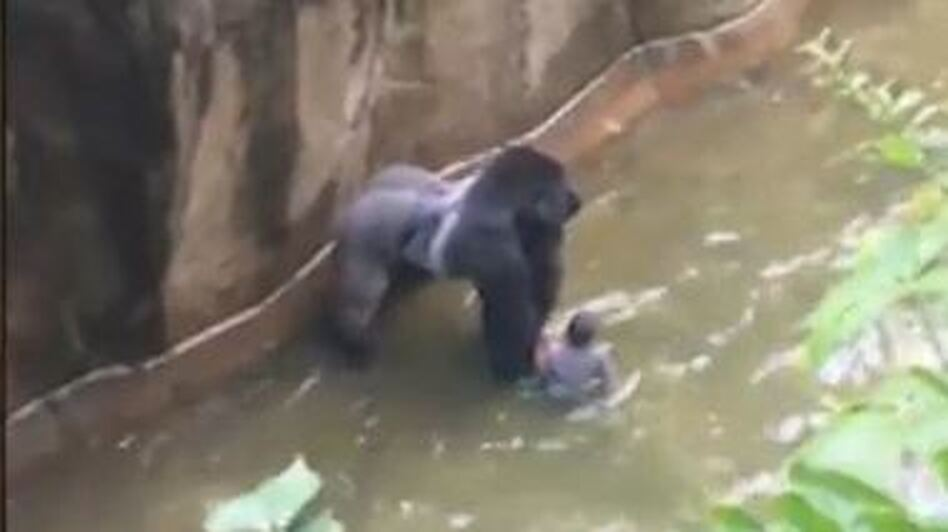 Video shot by a witness shows the 17-year-old gorilla handling the child and standing over him in the enclosure's moat. (WLWT/Screen Shot by NPR)