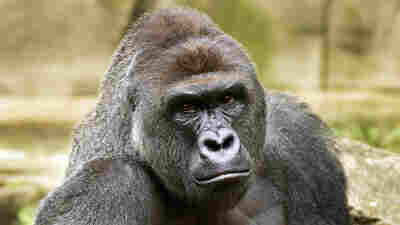 Harambe, a western lowland gorilla, was fatally shot Saturday, May 28, 2016, to protect a 4-year-old boy who had entered its exhibit.