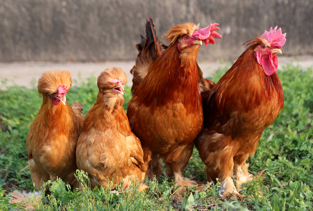 When you've got it, flaunt it: Beards can occur in various chicken breeds. The birds in the middle have them, the ones on the far left and right don't.